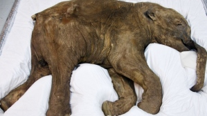 Mammoth calf, preserved